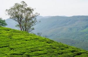munnar.tea.000.plantations